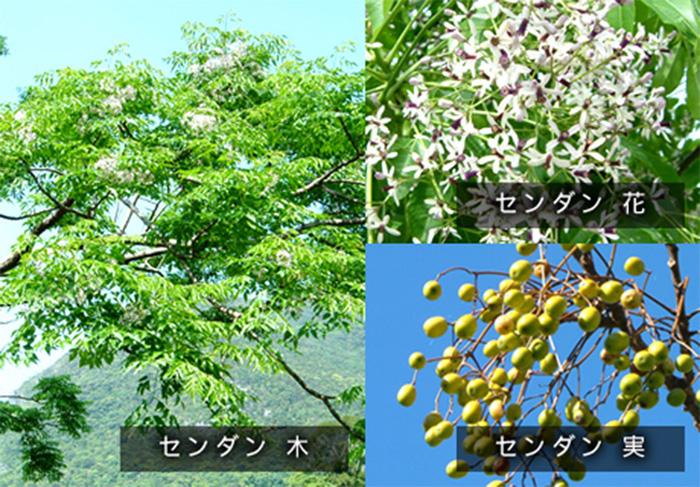 センダンの木、花、実