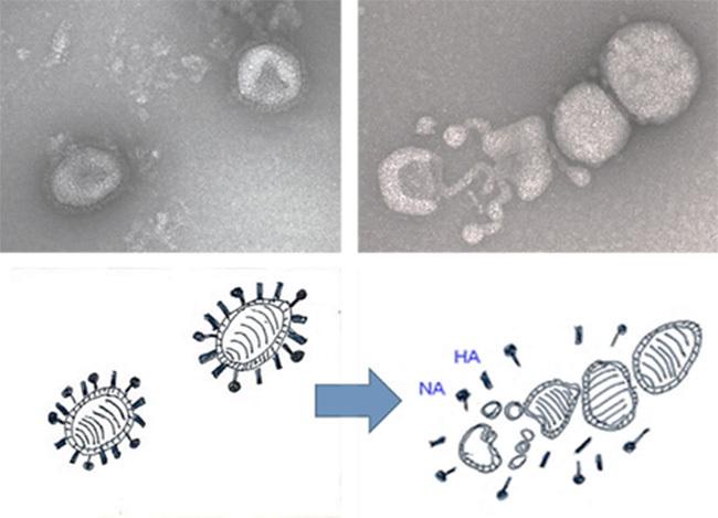 ウィルスの感染を抑える研究結果